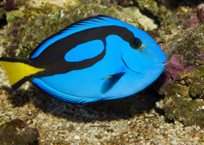 Blue Hippo Dory Tang