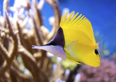 Forcepsfish, Longnose Butterflyfish