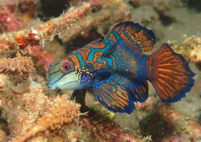 Blue Mandarinfish