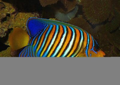 Regal Angelfish_By H. Zell - Own work, CC BY-SA 3.0