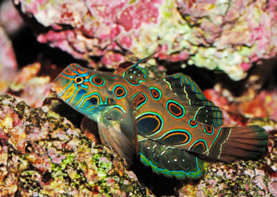 Spotted Mandarinfish